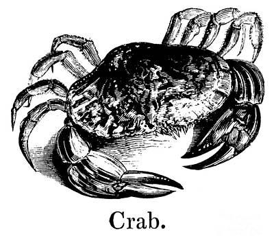 Animalia Drawing - Crab by English School