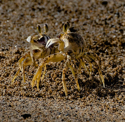 Kauai Photograph - Crab Fight by Alan Hart