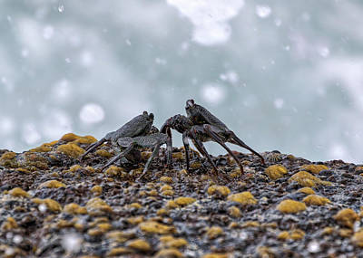Photograph - Crab Fight by Susan Rissi Tregoning
