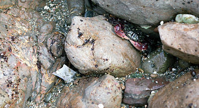 Photograph - Crab Hides 2 by Brent Dolliver