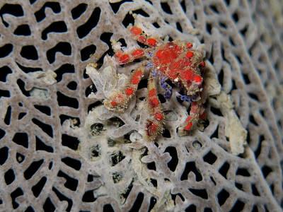 Photograph - Crab by Mau Riquelme