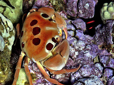 Photograph - Crab On Purple Coral by Bette Phelan