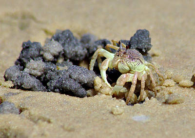 Photograph - Crab On The Beach by Jeremy Hayden