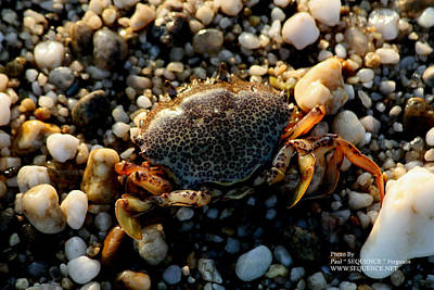 Photograph - Crab On The Beach by Paul SEQUENCE Ferguson             sequence dot net