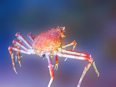 Crab Art Print by Art Spectrum