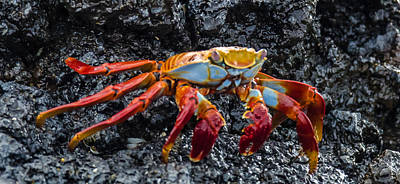 Photograph - Crab Sideways Shuffle by Harry Strharsky