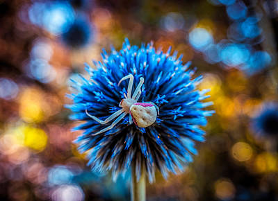 Photograph - Crab Spider On The Blue Flower by Lilia D