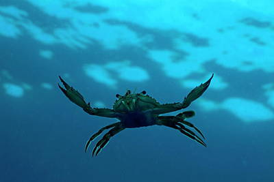 Crab Swimming In The Blue Water Print by Sami Sarkis