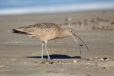 Photograph - Crab Toss - Curlew by KJ Swan