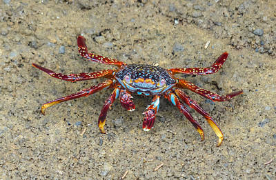 Photograph - Crab Walk To The Sea by Harry Strharsky