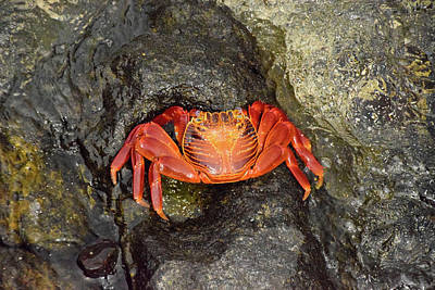 Photograph - Crab by Will Burlingham
