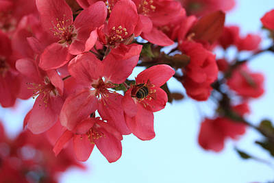 Photograph - Crabapple Bees by Rick Morgan