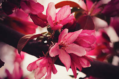 Photograph - Crabapple Blossom Burgundy by Donna L Munro