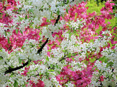 Photograph - Crabapple Blossom Colors by MTBobbins Photography