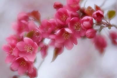 Photograph - Crabapple Blossom - Dark Pink by Diane Alexander