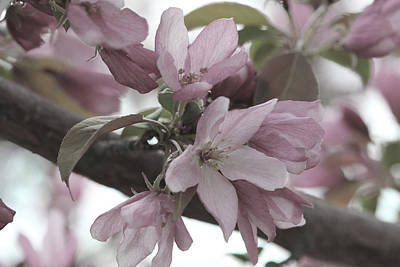 Photograph - Crabapple Blossom Faded by Donna L Munro