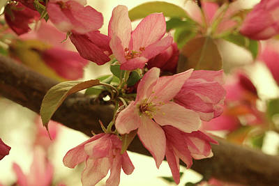 Photograph - Crabapple Blossom Gold by Donna L Munro