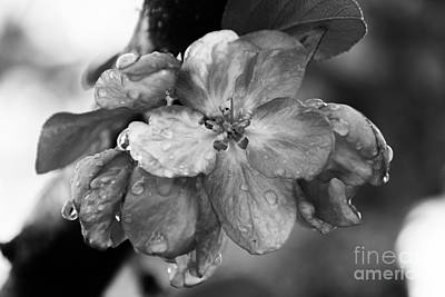 Photograph - Crabapple Blossom In Rain by Marilyn Carlyle Greiner