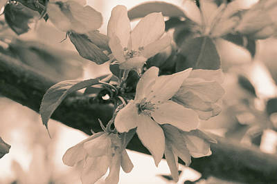 Photograph - Crabapple Blossom Sepia by Donna L Munro