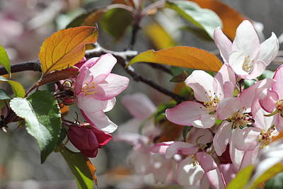 Photograph - Crabapple Blossoms #2 by Donna L Munro