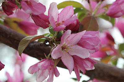 Photograph - Crabapple Blossoms #4 by Donna L Munro