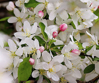 Photograph - Crabapple Blossoms 5 by Julie Weber