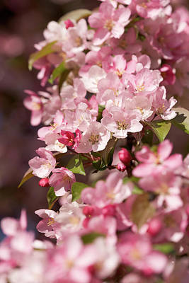 Photograph - Crabapple Blossoms by Bernard Lynch