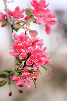 Photograph - Crabapple Blossoms In Spring by Joni Eskridge