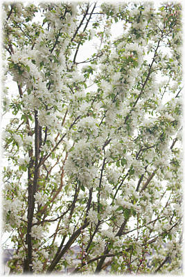 Photograph - Crabapple Branches White by Donna L Munro