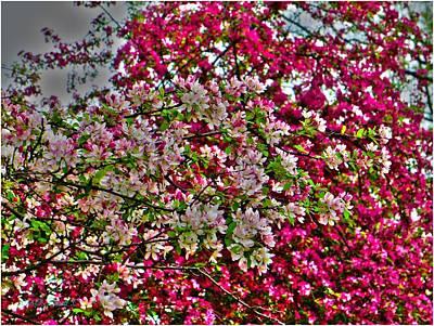 Crabapple Contrast Blossoms Art Print