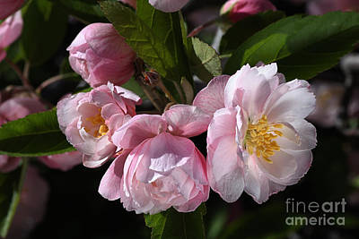 Photograph - Crabapple Flowers In Spring by Joy Watson