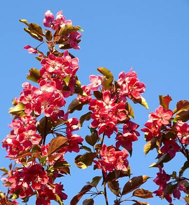 Photograph - Crabapple In Bloom by Will Borden