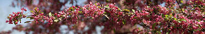 Crabapple In Spring Panoramic Art Print