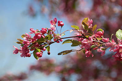 Crabapple In Spring Section 1 Of 4 Art Print