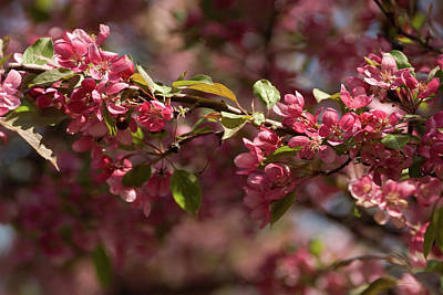 Photograph - Crabapple In Spring Section 3 Of 4 by Michael Bessler