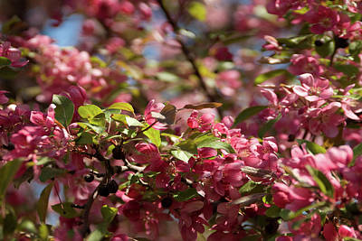 Photograph - Crabapple In Spring Section 4 Of 4 by Michael Bessler