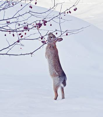 Photograph - Crabapple Snow Bunny Cropped - Rabbit by MTBobbins Photography