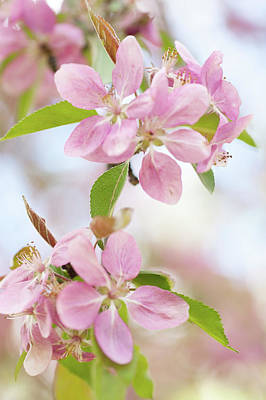 Photograph - Crabapple Tree Blossom by Jenny Rainbow