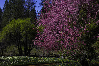Daffodils Photograph - Crabapple Tree In Bloom by Garry Gay