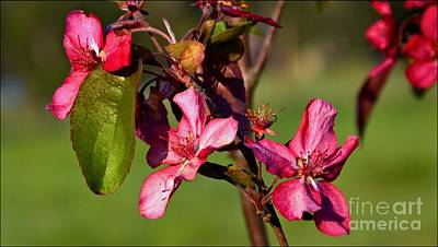 Photograph - Crabapple Trio by Julia Hassett