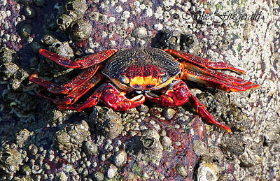 Photograph - Crabby by Mike Fitzgerald