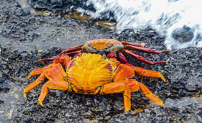 Photograph - Crabby Stand-off by Harry Strharsky