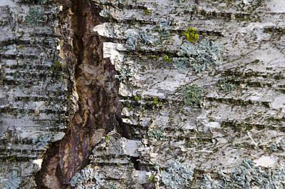 Photograph - Crack In Birch Bark With Lichen by Lynn Hansen