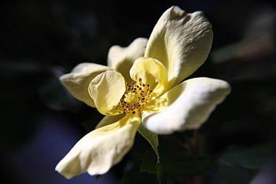 Photograph - Cracker Rose by Mandy Shupp