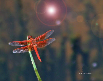 Photograph - Crackerjack Dragonfly by Matalyn Gardner