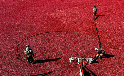 Photograph - Cranberry Harvest 1 by M G Whittingham