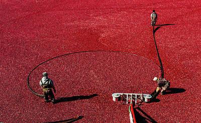 Photograph - Cranberry Harvest 1 by M G Whittingham