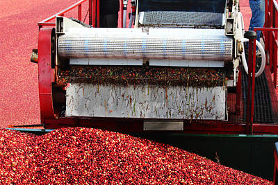 Photograph - Cranberry Harvest by Andrew Pacheco