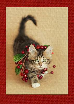Photograph - Cranberry Kitten by Kelly Richardson