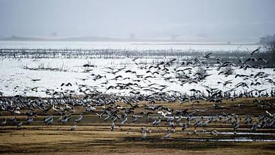Photograph - Crane Dance by Torbjorn Swenelius